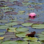 Waterlilies, Reinstein Nature Preserve, NY
