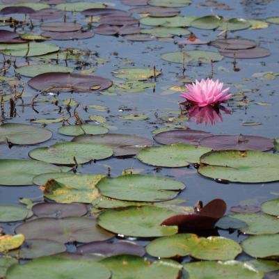 Waterlilies, Reinstein Nature Preserve, NY