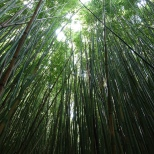Bamboo forest, Haleakala National Park