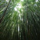 Bamboo forest, Haleakala National Park