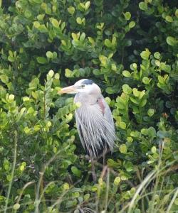 gorgeous great blue heron