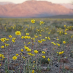 Super Bloom in Death Valley NP