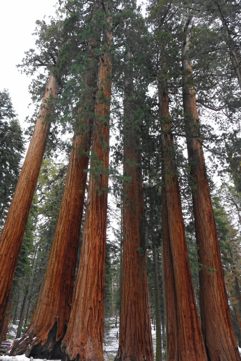 A stand of sequoias (1)